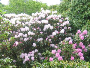 Rhododendrons on the Aros Park Walk