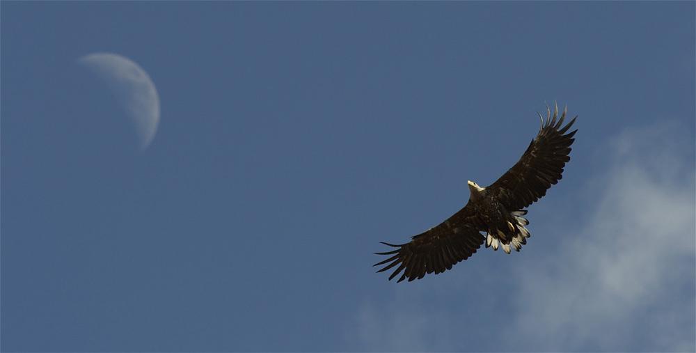 White-tailed Eagle Mull